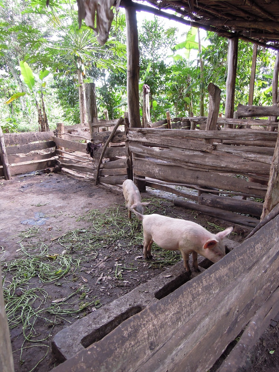 Pigs As A Living Bank Account In Rural Uganda Safe Food